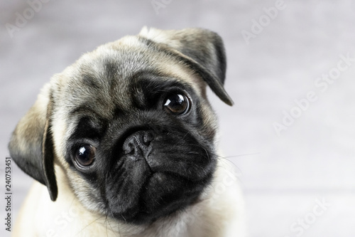 Photo portrait of a pug puppy, cute funny face close up