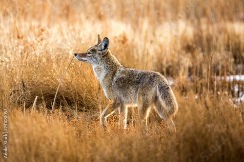 Photo Wild coyote hunting in a grassy field in the winter