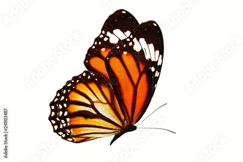 Fototapeta premium piękny motyl latający pomarańczowy na białym tle