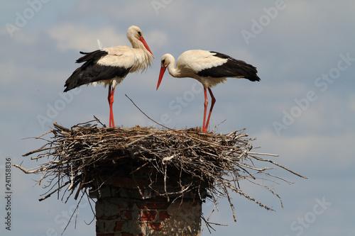 Carta da parati white stork in the nest