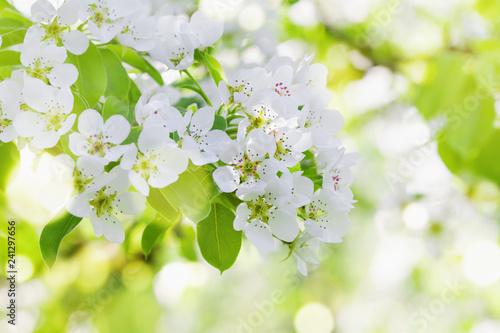 Fototapeta premium Gałąź jabłka z kwiatami kwitną. Piękny wiosna krajobrazu tło.