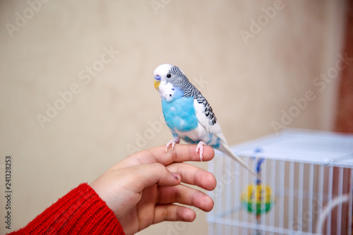 Wallpaper Mural The budgerigar is sitting on the girl's hand