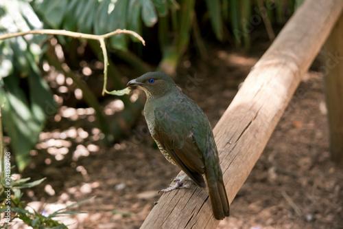 Fotografía satin bower bird