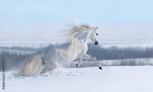 Fototapeta premium Biały koń z długą grzywą galopującą przez zimową łąkę.