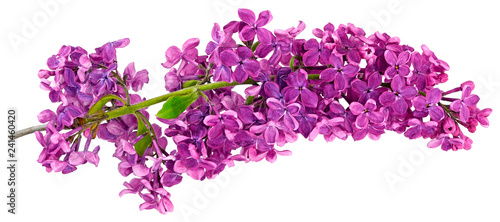 Valokuva lilac one branch isolated