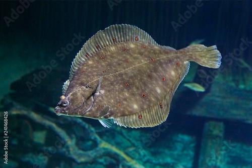Obraz na plátne Beautiful flounder on the seabed.