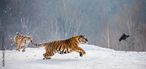 Fototapeta premium Syberyjskie tygrysy na śnieżnej polanie łapią swoją zdobycz. Bardzo dynamiczny strzał. Chiny. Harbin. Prowincja Mudanjiang. Park Hengdaohezi. Park Tygrysów Syberyjskich. Zimowy. Twardy mróz. (Panthera tgris altaica)