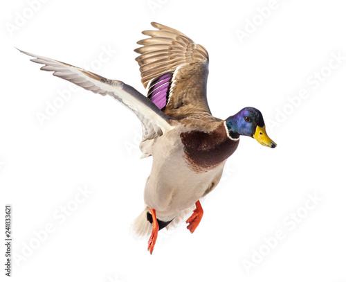 Billede på lærred Duck in flight isolated on white background