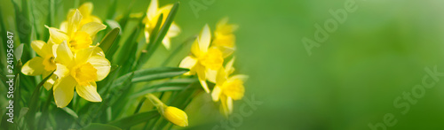 Beautiful Panoramic Spring background With Daffodils Flowers