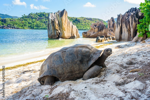 Stampa su Tela Aldabra giant tortoise, Turtle in Seychelles on the beach near to Praslin