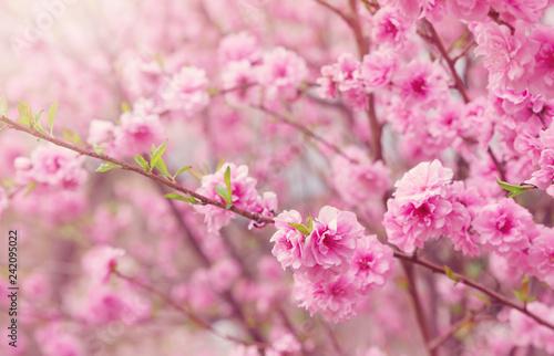 Fototapeta premium niewyraźne tło drzewa sakura