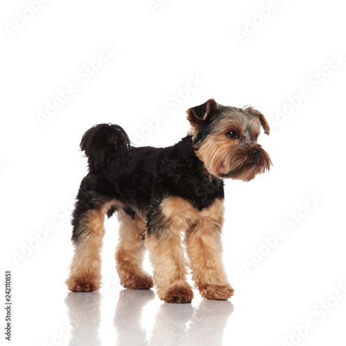 Canvas Print side view of adorable yorkshire terrier standing