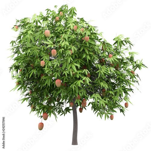 mango tree with mango fruits isolated on white background