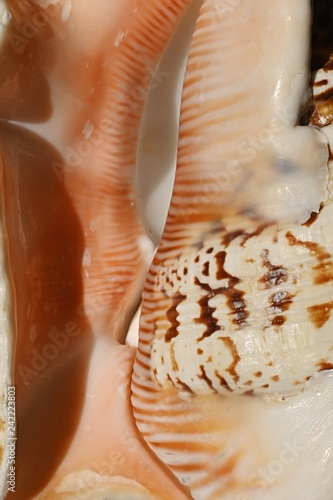 Smooth texture detail of entrance to large Spider conch seashell Lambis Lambis