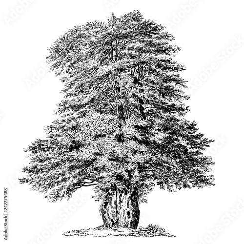 Yew Tree Vintage Illustrations Fototapeta