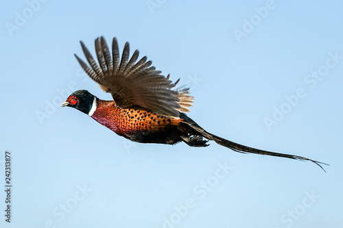 Canvas Print Pheasant Rooster Flight