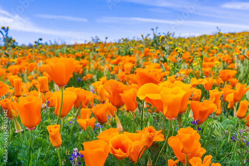Fotografie, Obraz Close up of California Poppies (Eschscholzia californica) during peak blooming t