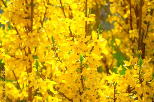 Slika na platnu Bright yellow flowers on spring bushes