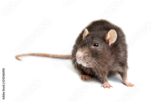 Fotografia gray rat isolated on white background