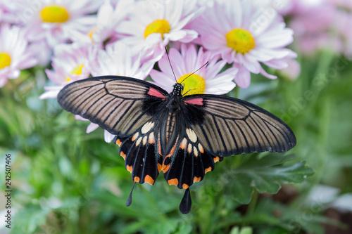 Fototapeta premium Zbliżenie czarny motyl siedzi na różowe kwiaty