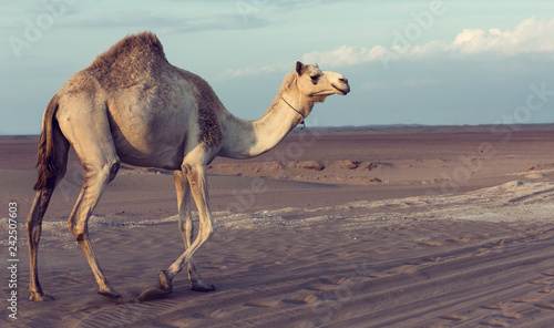 Lone camel walking a road at sunset in the desert artistic conversion