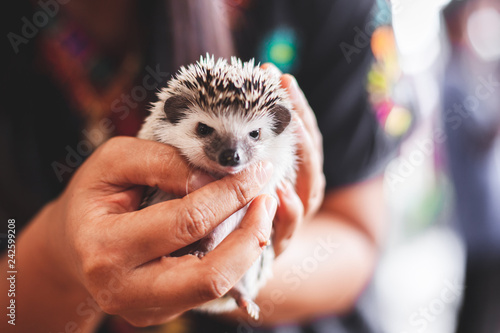 Woman holding and playing with small Hedgehog porcupine Fototapet