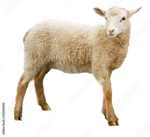 Stampa su Tela Sheep isolated on white background