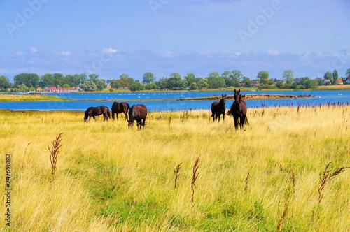 Fototapeta premium Poel Pferde - konie na pastwisku na wyspie Poel