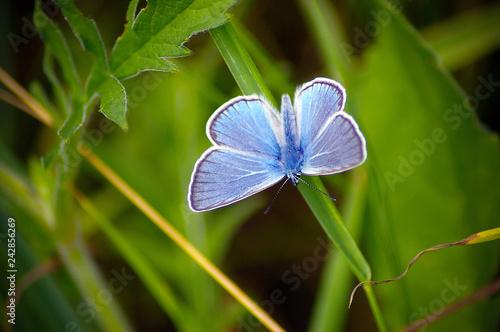 Fototapeta premium motyl, niebieski