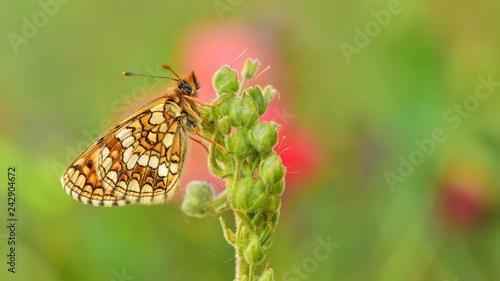 Fototapeta premium Melitaea aurelia 556