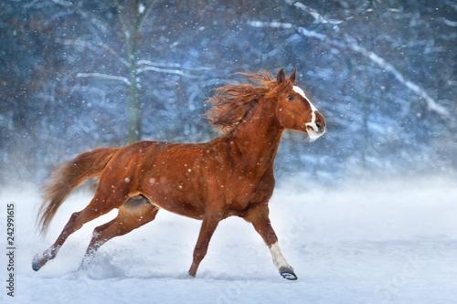 Fototapeta premium Czerwony koń z długą grzywą biegną szybko w zimowy dzień śniegu