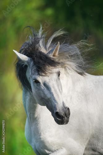 Fototapeta premium Biały koń andaluzyjski biegnie galopem w polu letnim. Pura Raza Espanola