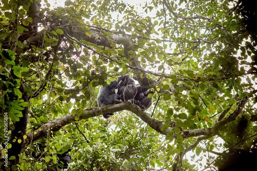 Vászonkép Kibale Chimps