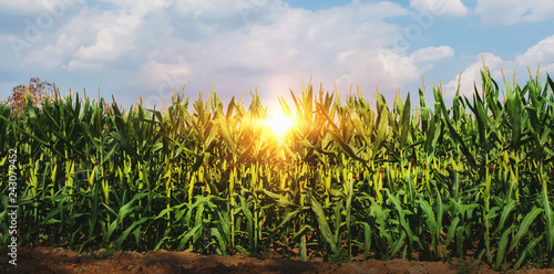 Canvas-taulu corn growing in plantation with sun and blue sky