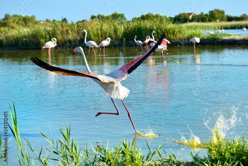 Flamingo running on water (Phoenicopterus ruber) seen from behind, in the Camargue is a natural region located south of Arles, France
