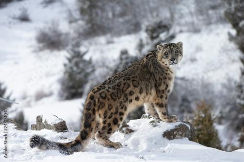 Fototapeta Rare, endangered, elusive Snow Leopard in cold winter snow scene