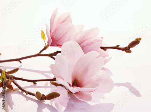 Fotografie, Obraz Pink magnolia blossoms on a reflective surface