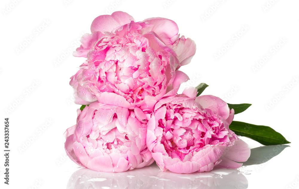Różowe kwiaty piwonii <span>plik: #243337654 | autor: Valeri Luzina</span>