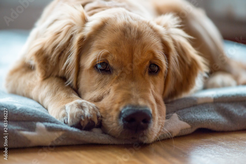 Fotografia Portrait of a young and tired Golden Retriever boy,  lying on a cozy blanket