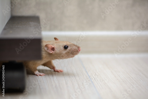 cute brown rat dumbo walking and sniffing around the house or apartment Fototapeta