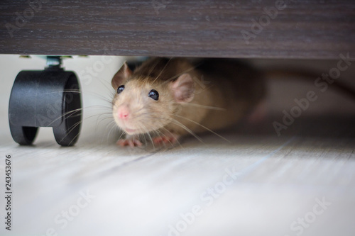 cute brown rat dumbo walking and sniffing around the house or apartment.