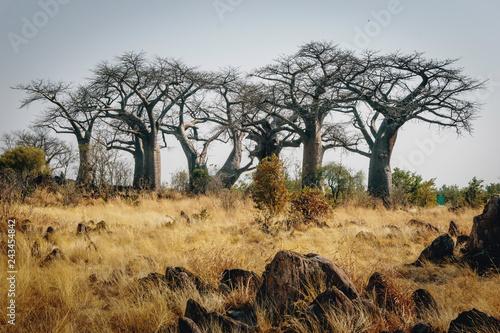 Fotografiet Gruppe großer Baobab-Bäume auf einem Hügel in der Nähe von Savuti, Chobe Nationa