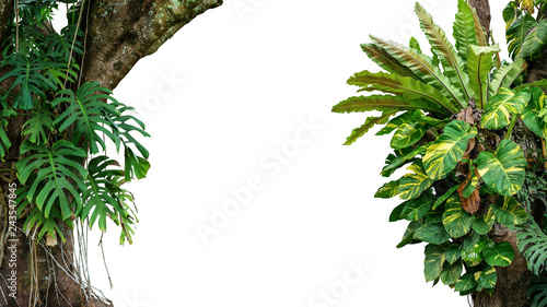 Fotografia Nature frame of jungle trees with tropical rainforest foliage plants (Monstera, bird's nest fern, golden pothos and forest orchid) growing in wild isolated on white background with clipping path