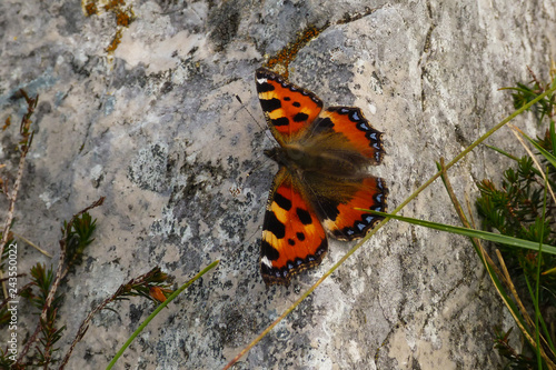 Fototapeta premium vanessa z pokrzywy (Aglais urticae) portret na skale