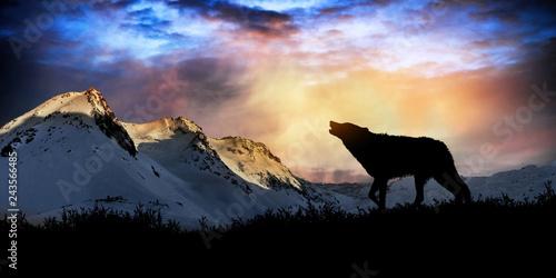 Fototapeta premium wycie wilka o zachodzie słońca