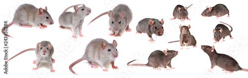 Fotografia grey rat collection
