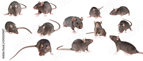 Fotografia brown rat isolated on a white background - collection