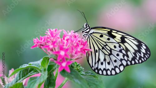 Fototapeta premium Makro czarno-biały motyl siedzi na różowe kwiaty