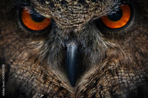 Fototapeta premium Portret sowy. Oczy sowy. - Wizerunek
