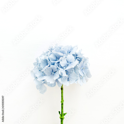 Fototapeta Blue hydrangea flower on white background